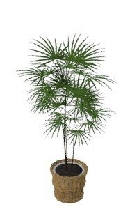 Chinese Fan Palm Plant 3D MAX Model for 3D Studio Max